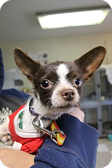 Terrier (Unknown Type, Small)/Chihuahua Mix Dog for adoption in Lodi, California - Mason