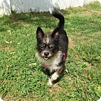 Chihuahua/Terrier (Unknown Type, Medium) Mix Dog for adoption in Belleville, Michigan - Evie