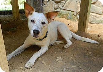 Border Collie/Cattle Dog Mix Dog for adoption in Hagerstown, Maryland - Suzy Q