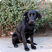 Adopt A Pet :: Braxton - Los Angeles, CA