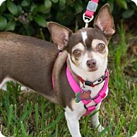 Chihuahua Mix Dog for adoption in Santa Fe, Texas - Eloise 'Ellie'