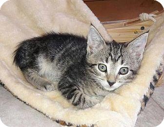 Domestic Shorthair Kitten for adoption in Boynton Beach, Florida - Fossie
