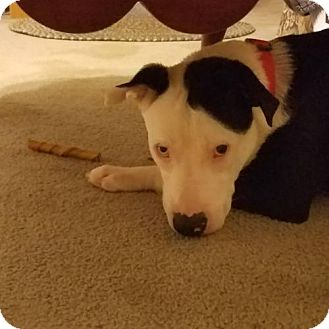 Pit Bull Terrier/Husky Mix Dog for adoption in Iroquois, Illinois - Cricket