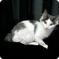 Adopt A Pet :: Spotted kittens/$50 - REDDING, CA