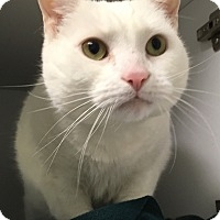 Adopt A Pet :: Snow & White - Ardsley, NY