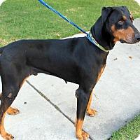 Adopt A Pet :: Dax - Fillmore, CA