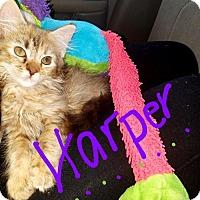 Adopt A Pet :: Harper - Glendale, AZ