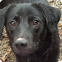 Adopt A Pet :: Hannah - ST LOUIS, MO