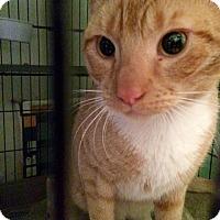 Adopt A Pet :: Cheese Curl - Bensalem, PA