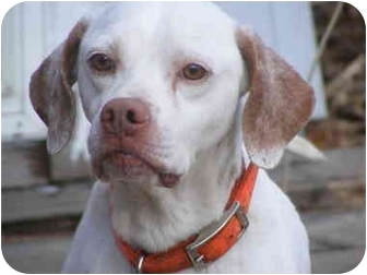 Pointer Dog for adoption in Toledo, Ohio - SONNY