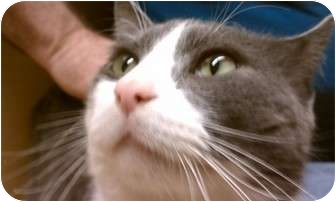 Domestic Shorthair Cat for adoption in Canal Winchester, Ohio - Rudy