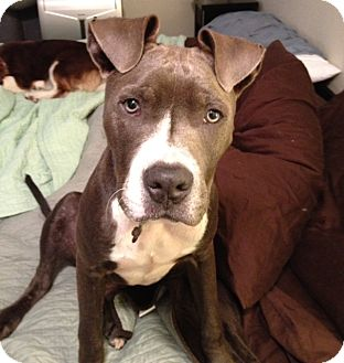 Sky | Adopted Puppy | Seattle, WA | American Pit Bull ...