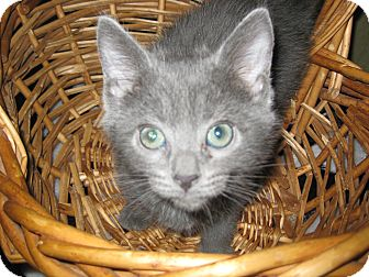 Domestic Shorthair Kitten for adoption in Clearfield, Utah - Jolly Rancher