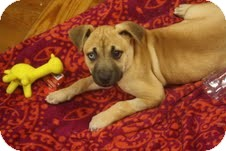 Labrador Retriever/Boxer Mix Puppy for adoption in Homewood, Alabama - Spryte