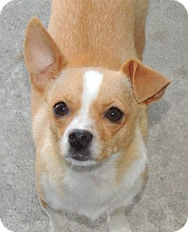 Chihuahua/Jack Russell Terrier Mix Dog for adoption in La Habra Heights, California - Sweet Loni