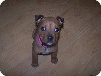 american bulldog rottweiler mix pixie adopted puppy chewelah wa rottweiler american 311