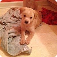 Adopt A Pet :: Malfoy Pup - Foster, RI