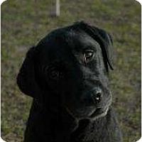 Adopt A Pet :: Brisket - Altmonte Springs, FL