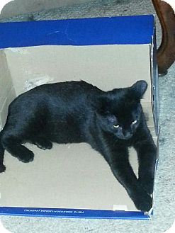 Domestic Shorthair Cat for adoption in Youngsville, Louisiana - Jessie