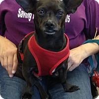 Adopt A Pet :: Choco - Van Nuys, CA