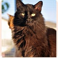 Domestic Longhair Cat for adoption in Alamogordo, New Mexico - EXPRESSO