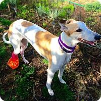 Greyhound Dog for adoption in Santa Rosa, California - Selina