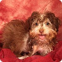 Adopt A Pet :: Diva Havanese - St. Louis, MO