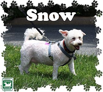 Bichon Frise Mix Dog for adoption in Fallston, Maryland - Snow