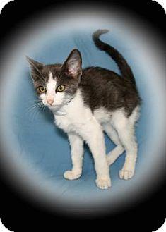 Domestic Shorthair Cat for adoption in Bradenton, Florida - Astrid