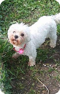 Bichon Frise Dog for adoption in Mukwonago, Wisconsin - Serena