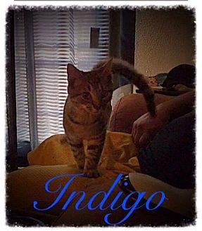 Domestic Shorthair Kitten for adoption in Garner, North Carolina - Indigo