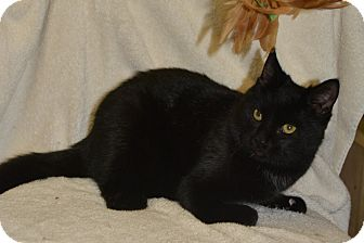 Domestic Shorthair Cat for adoption in Jurupa Valley, California - Fanta