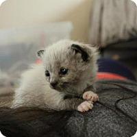 Adopt A Pet :: 408818 Kadimir Puddin - San Antonio, TX