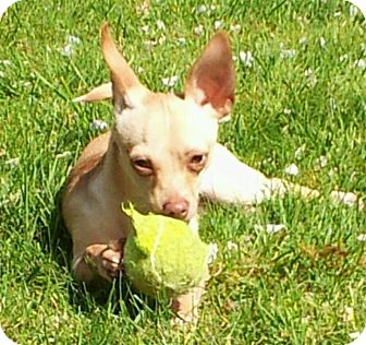 Chihuahua Puppy for adoption in Snohomish, Washington - Little Tommy