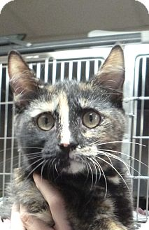 Domestic Shorthair Kitten for adoption in St. Petersburg, Florida - Tallulah