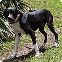 Adopt A Pet :: Boots - Jupiter, FL