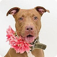 American Staffordshire Terrier Mix Dog for adoption in Ocoee, Florida - Poet