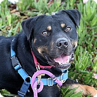 Rottweiler Mix Dog for adoption in Berkeley, California - Taz