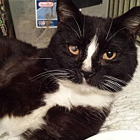 Domestic Shorthair Cat for adoption in Clarkson, Kentucky - Cisco Kid