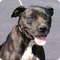 Boxer/American Bulldog Mix Dog for adoption in springtown, Texas - Petunia