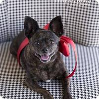 Adopt A Pet :: Stormy **Diamond Dog $125 Adoption Fee** - McKinney, TX