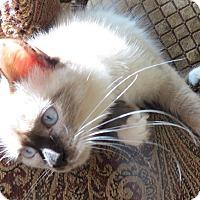 Adopt A Pet :: Silky - Davis, CA