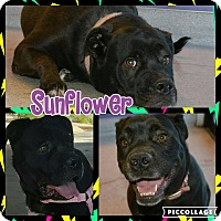 Adopt A Pet :: Sunflower - Scottsdale, AZ