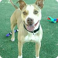 Adopt A Pet :: LEONARD - Chandler, AZ