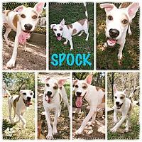 Adopt A Pet :: Spock - Converse, TX