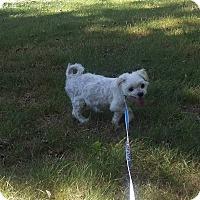 Maltese/Shih Tzu Mix Dog for adoption in Milford, Connecticut - Spike