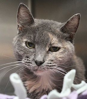 Domestic Shorthair Cat for adoption in Fort Madison, Iowa - Ginny