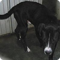 Labrador Retriever Mix Dog for adoption in Tahlequah, Oklahoma - Tag