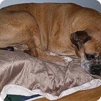 Boxer Dog for adoption in Woodbury, Minnesota - Cooper