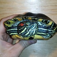 Turtle - Other for adoption in Markham, Ontario - Jacob